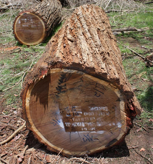 FSC African lignum vitae logs and marked ends