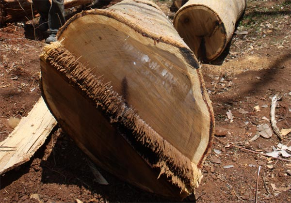 FSC panga panga cut log end